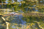 Stealth croc — Stock Photo