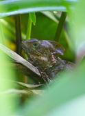 Jungle Lizard — Stock Photo
