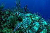 A hawksbill turtle in Roatan, Honduras — Stock Photo