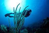 Scuba diver on a tropical reef — Stock Photo