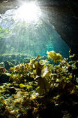 Light rays falling on lily pads in a cenote — Stock Photo