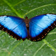 Blue morpho butterfly — Stock Photo #7194040