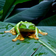Blinking tree frog - Stock Photo