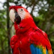 Stock Photo: Red and blue macaw