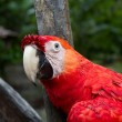 Stock Photo: Red macaw