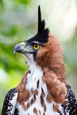 Ornate Hawk Eagle Display — Stock Photo