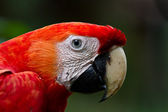 Scarlet Macaw close up — Stock Photo