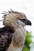 Crested Eagle — Stock Photo