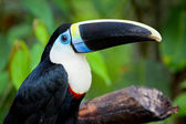 White chested toucan — Stock Photo