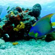 Blue and yellow angel fish - Stock Photo