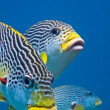 Sweetlips — Stock Photo
