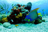 Blue and yellow angel fish — Stock Photo