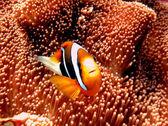 Pesce nero anemone — Foto Stock