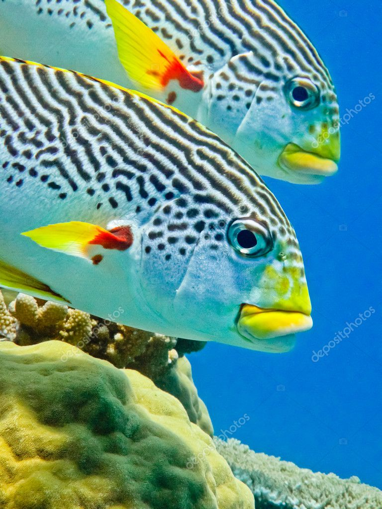 Diagonal banded sweetlip on Australia's Great Barrier Reef. — Stock Photo #7207641