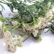 Yarrow herb - Stock Photo
