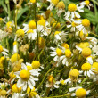 Stockfoto: Camomile herb blooming