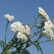 Yarrow herb blooming — Stock Photo