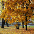 Maple tree with yellow leaves at autumn — Stock Photo