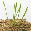 Wheat seeds and green sprouts — Stock Photo