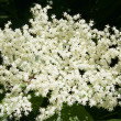Elder white  flowers — Stock Photo