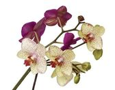 Posy of purple and yellow orchids — Stock Photo