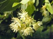 Linden tree flower close up — Stock Photo