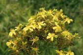 St.John's Worth herb blooming — Stock Photo