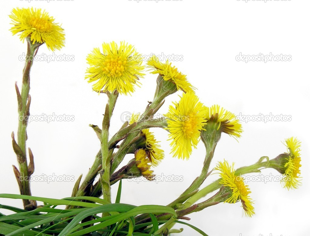 Yellow flowers of horsefoot — Stock Photo #7502143