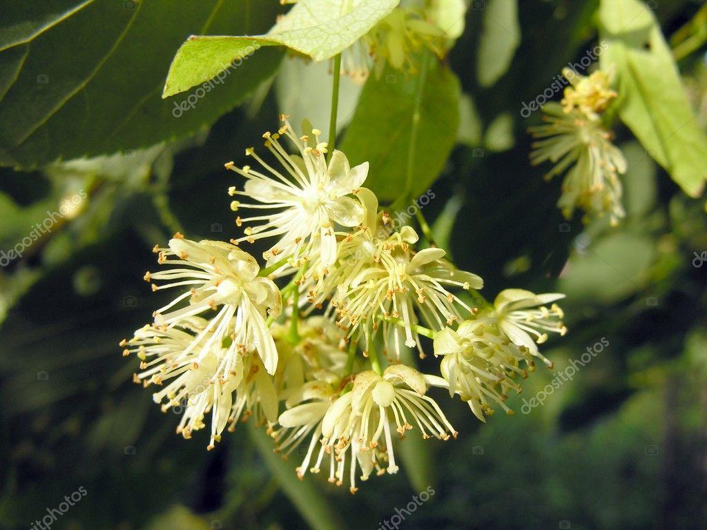 Linden tree flower close up — Stock © Manka