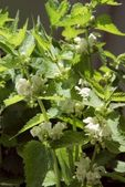 """dead nettle "" herb blooming — Stock Photo"