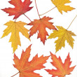 Red,orange and yellow leaves of maple tree — Stock Photo