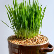 Stock Photo: Green sprouts and seeds of wheat