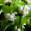 Dead nettle with white flowers as natural medicine — Stock Photo