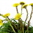Coltsfoot blooming at spring — Stock Photo