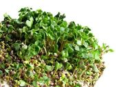 Green sprouts of radish seeds — Stock Photo