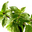 Green leaves of mint herb — Stock Photo