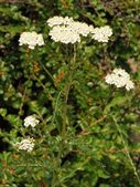 Yarrow herb blooming — Stock Photo