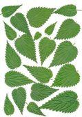 Leaves of nettle — Stock Photo