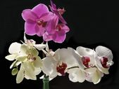 Purple and white orchid flowers — Stock Photo