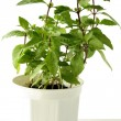 Mint green herb — Foto de Stock