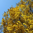 Gold leaves on tree at autumn in Poland — Stock Photo