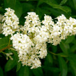 Privet bush in blossom - Stock Photo