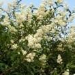 Shrub of privet in blossom — Stock Photo