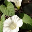 Stock Photo: Hedge bindweed