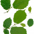 Stock Photo: Green leaves of hazel tree