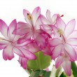 Pink flowers of cactus plant - Stock Photo