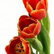 Stock Photo: Tulips in posy