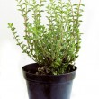 Thyme herb growing in pot — Stock Photo