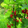 Red ripe currants on bush in a garden — Stock Photo