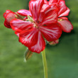 Pink and red geranium flower close up - Stock Photo